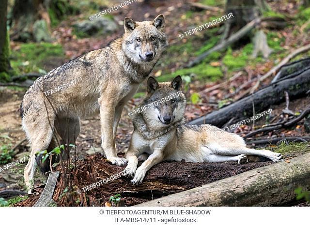 eurasian greywolves