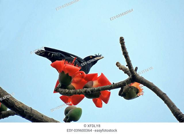 Red bombax ceiba Stock Photos and Images   age fotostock