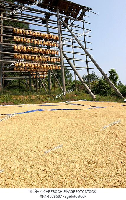Corn drying outdoors, Biasha, Guizhou, China