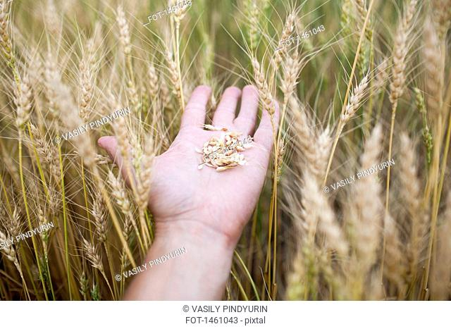 Close-up of hand holding wheat at farm
