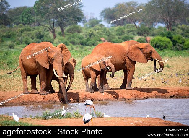 A elephants family drinking water from the waterhole
