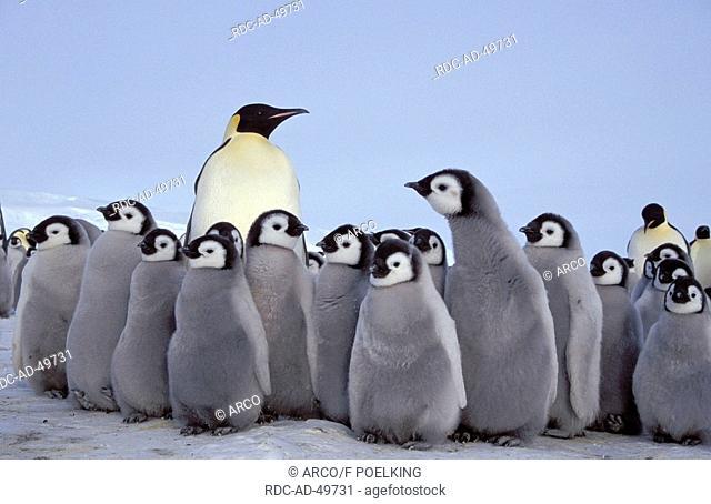 Emperor Penguin and chicks Dawson-Lambton Glacier Antartica Aptenodytes forsteri