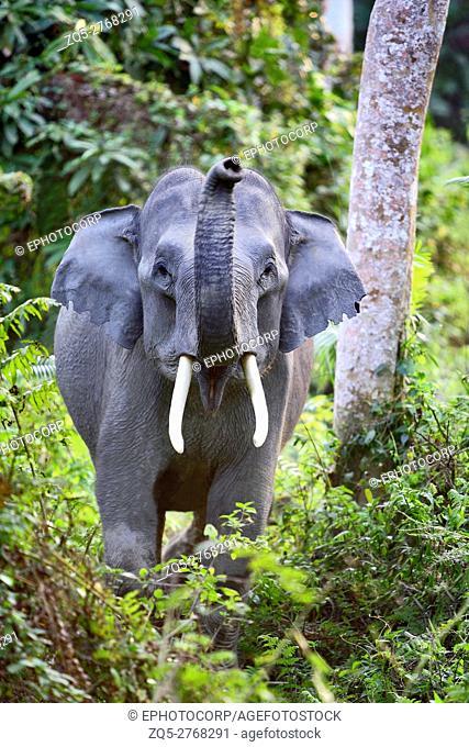 Indian Elephant (Elephas maximus indicus) Young male at Kaziranga National Park Assam India