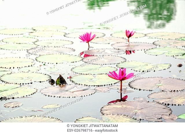 Beautiful red flower of Water Lily or Nymphaea Lotus and its leaves on water surface