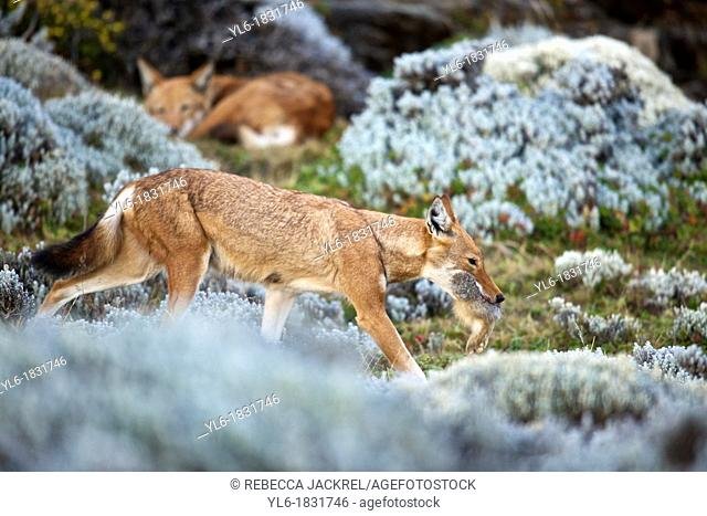 Ethiopian wolf carrying a Starck's hare