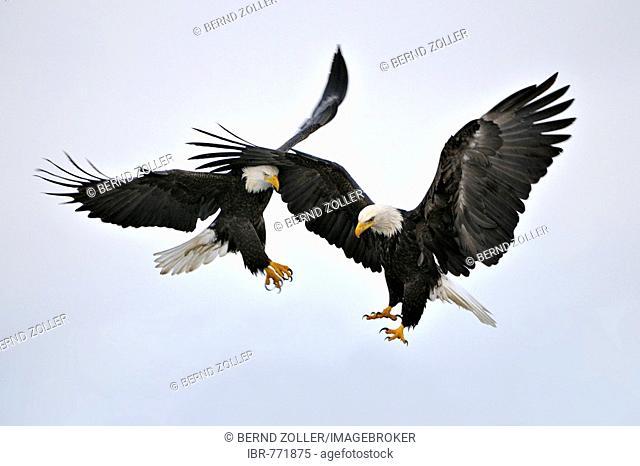 Bald Eagles (Haliaeetus leucocephalus) in flight, Kenai Peninsula, Alaska, USA