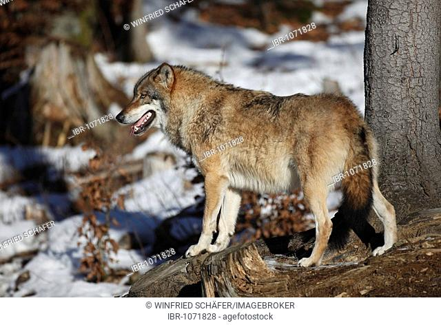 Grey wolf or Gray wolf (Canis lupus), Bavarian Forest National Park, Bavaria, Germany