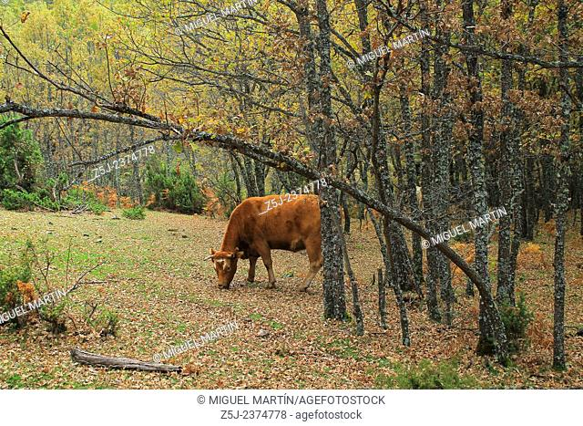 A cow looks the photographer while grazing pleasantly between oak trees close to the Aguilón river and the trekking route leading to the El Purgatorio falls
