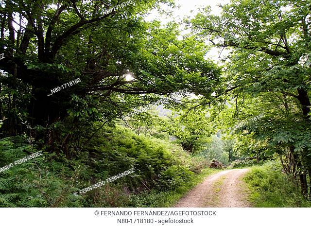 Ruta Praderias de Nava  Parque Nacional Picos de Europa  Cabrales  Asturias  Spain