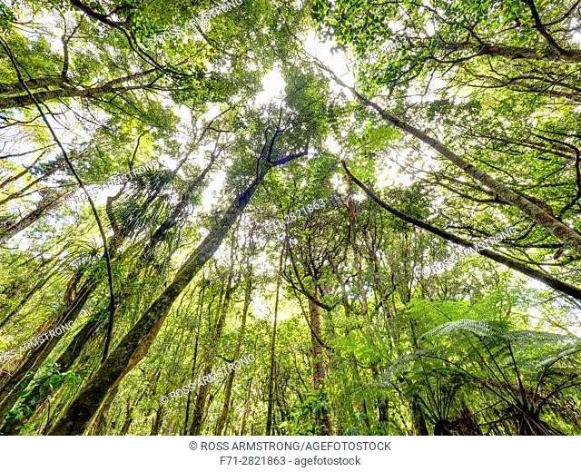 Looking up at the tree canopy of native bush reserve in Trounson Kauri Park Northland, New Zealand