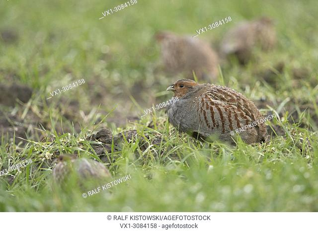 Grey Partridges ( Perdix perdix ), little group, flock, sitting, hiding in a dew wet field of winter wheat, rare gamebirds, wildlife, Europe.