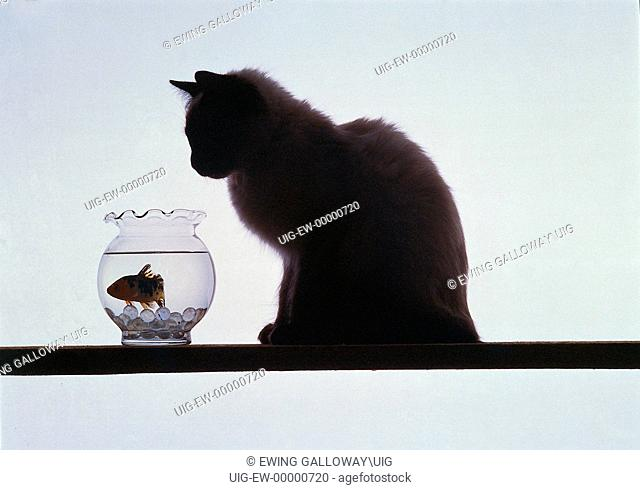 Cat looking at fish in fishbowl