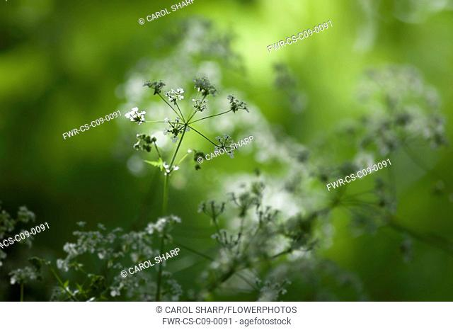 Cow parsley, Anthriscus sylvestris, a single umbel with buds viewed from the side, in dappled sun, using selective focus