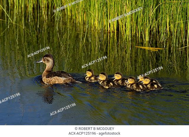 A mother Blue-winged Teal Duck (Anas discors), swimming away with her brood of young ducklings at the beaver boardwalk in Hinton Alberta Canada