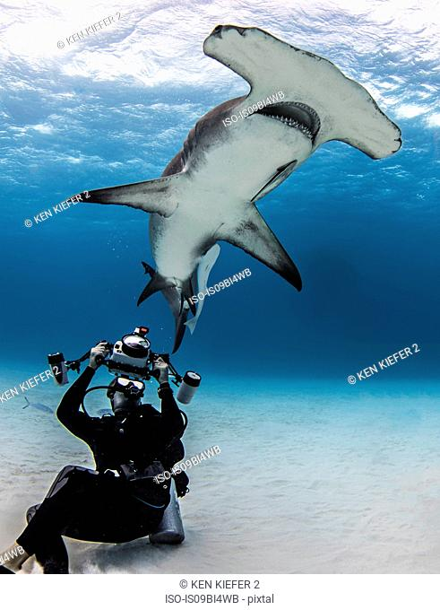Underwater view of diver photographing hammerhead shark, Alice Town, Bimini, Bahamas