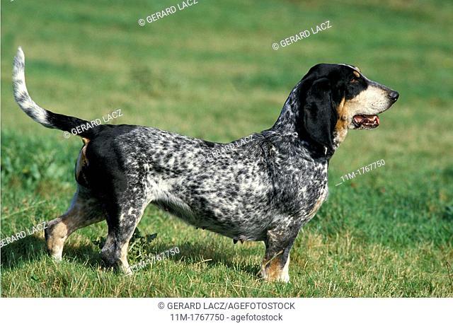 Gascony Blue Basset or Basset Bleu de Gascogne, Adult standing on Grass