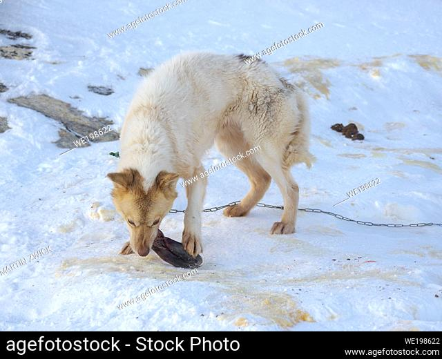Feeding of a dog with seal meat. Sled dog in the northwest of Greenland during winter. Kullorsuaq, a traditional greenlandic inuit settlement in the Melville...