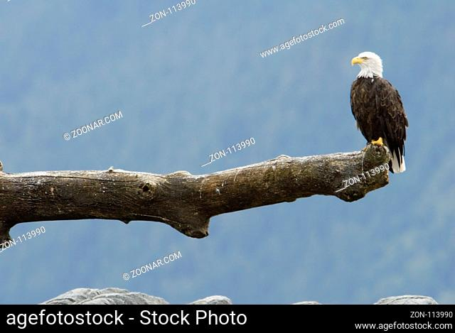 A beautiful bald eagle posed on his hunting lookout at the pacific coast of vancouver island