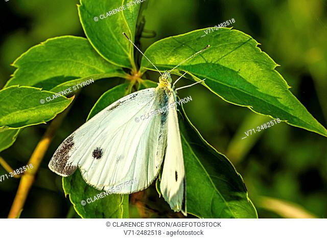 Cabbage White Butterfly (Pieris rapae) on Virginia Creeper (Parthenocissus quinquefolia) Leaf