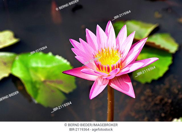 Red-flowering Water-lily (Nymphaea rubra), Cambodia, Southeast Asia, Asia