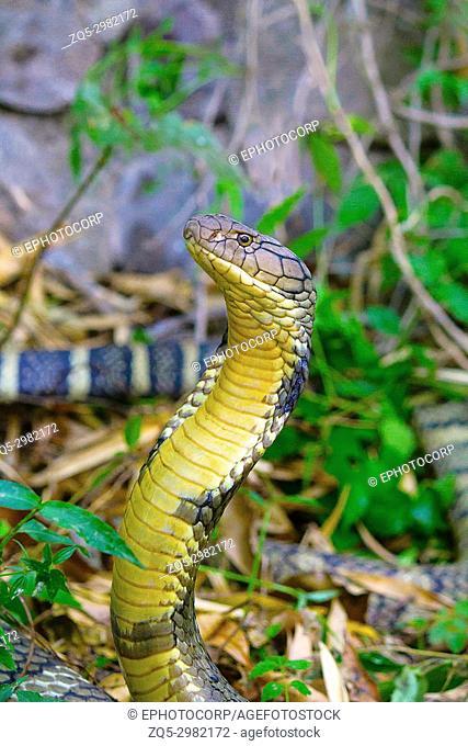 King Cobra, Ophiophagus hannah, Corbett Tiger Reserve, Uttarakhand, India