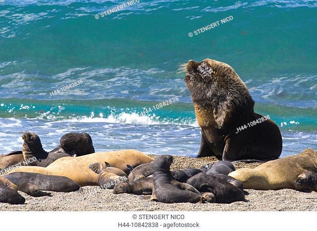 South American Sea Lion, Otaria flavescens, Valdes Peninsula, Argentina, South America, America, Kuste, Landscape, sce