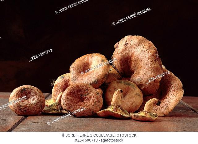 Edible mushroom, Saffron milk cap, Red pine mushroom, pinetell, níscalo Lactarius deliciosus, Catalonia, Spain, Europe