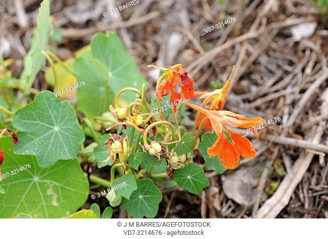 Garden nasturtium (Tropaeolum majus) is an annual herb native to Andes