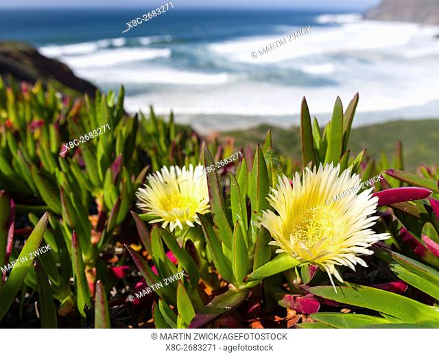 Ice plant or Hottentot-fig, highway ice pant, pigface (Carpobrotus edulis) at the Costa Vicentina. The coast of the Algarve during spring