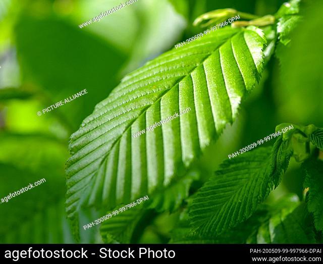 08 May 2020, Brandenburg, Friedrichsaue: A leaf of a hornbeam (Carpinus betulus). Photo: Patrick Pleul/dpa-Zentralbild/ZB