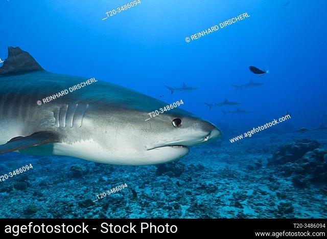 Tiger Shark, Galeocerdo cuvier, Moorea, French Polynesia