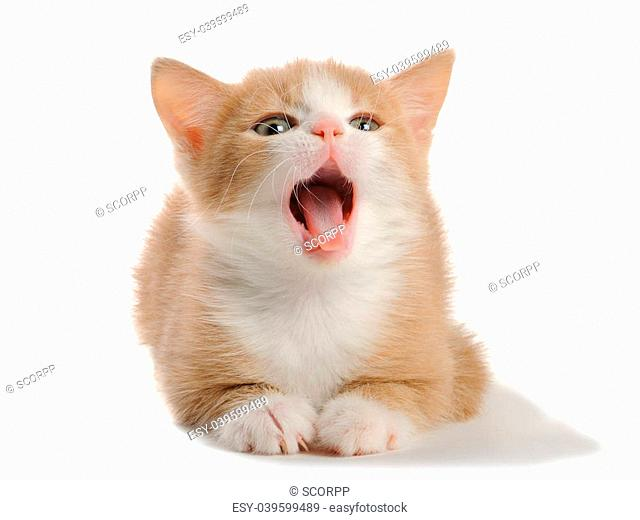Kitten on the white background