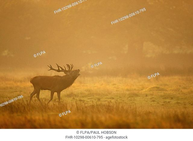 Red Deer Cervus elaphus stag, roaring, standing in parkland at dawn, during rutting season, Bradgate Park, Leicestershire, England, autumn