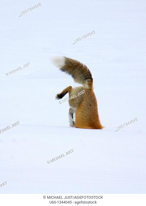 A red fox dives under the snow to catch its prey in a technique called 'mousing' at Yellowstone National Park, Wyoming