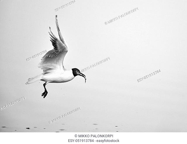 Black-headed gull takes off from the sea water with freshly caught small fish in its mouth on Baltic Sea in Espoo, Finland