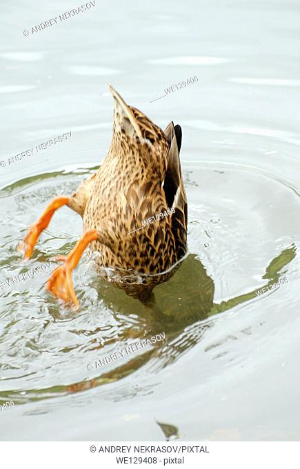 Duck dives under water, Transilvania, Romania, Europe