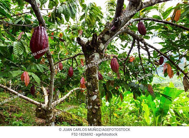 Cacao tree, Oreba organic cacao, Oeste Arriba River, Ngabe Ethnic Group, Bocas del Toro Province, Panama, Central America, America