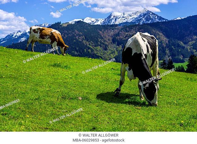 Cows on the pasture, east Allgäu, Allgäu, Bavarians, Germany, Europe