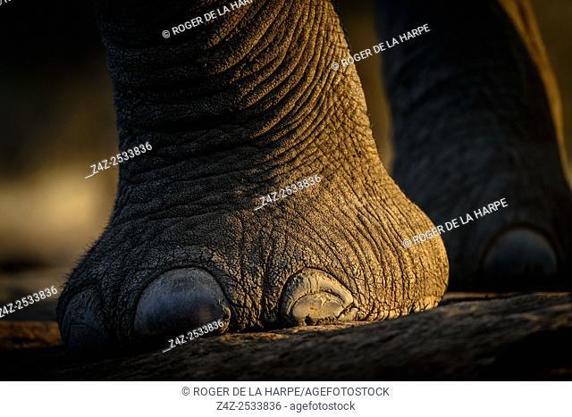 African bush elephant (Loxodonta africana) details foot showing toe nails. Mashatu Game Reserve. Northern Tuli Game Reserve. Botswana