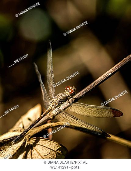 """""""""""Dragonfly""""( Anisoptera), As with other species of insect, the dragonfly also has six legs but it is unable to walk on solid ground"