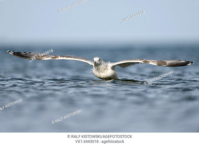 European Herring Gull ( Larus argentatus ) taking off from water, baltic sea, starting, in flight, flying, frontal shot, wildlife, Europe