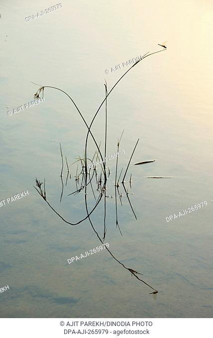 Grass reflection in still water, Valsad, Gujarat, India, Asia