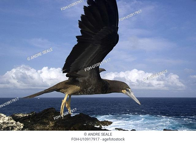 Brown booby, Sula leucogaster, flying, St. Peter and St. Paul's rocks, Brazil, Atlantic Ocean