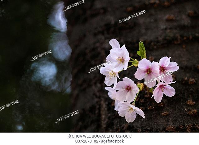 Spring cherry blossom festival in Jinhei, Korea
