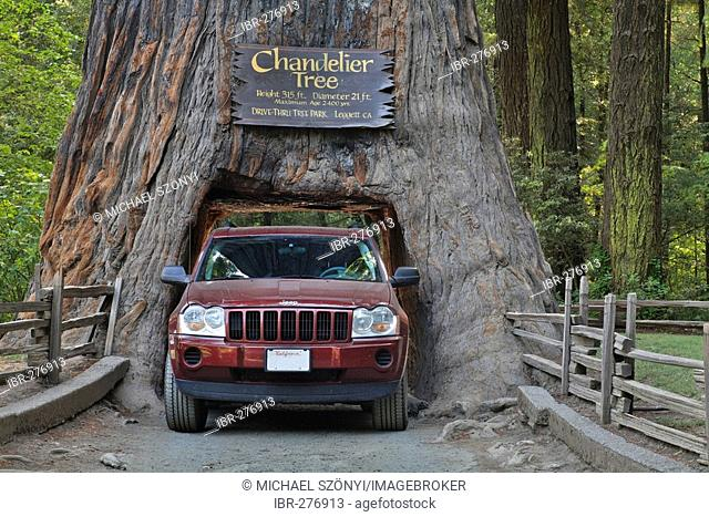 Jeep drives through a Redwood (Sequoia sempervirens) in the Chandelier Drive-Thru Park, California, USA