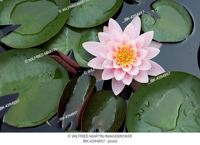 Pink water lily (Nymphaea sp.), Hesse, Germany