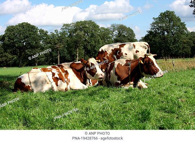 red-and-white Cow Bos domesticus - Lemelerberg en Archemerberg, Lemele, Salland, Overijssel, The Netherlands, Holland, Europe