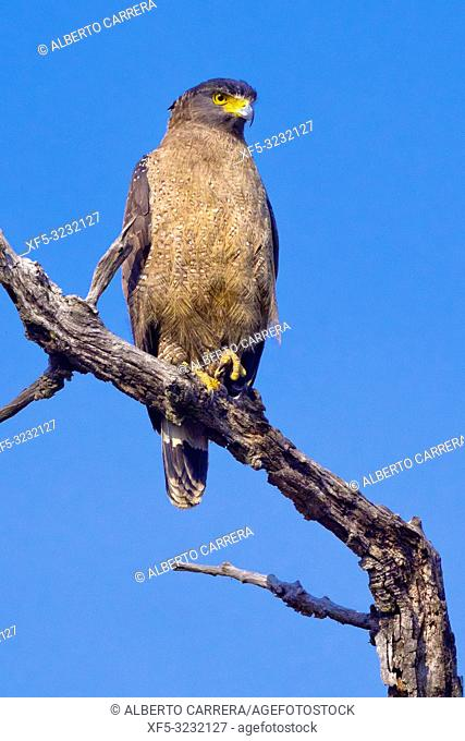 Crested Serpent Eagle, Spilornis cheela, Royal Bardia National Park, Bardiya National Park, Nepal, Asia