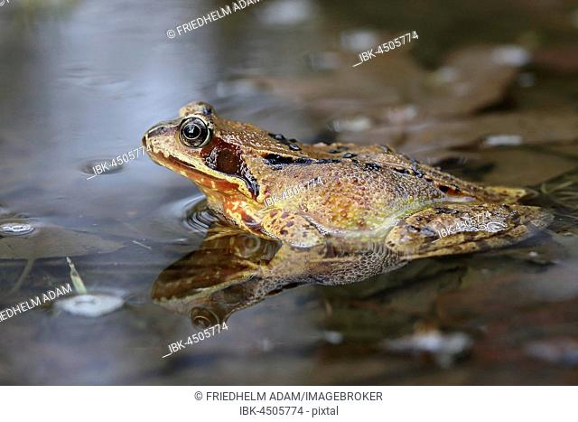 European common frog (Rana temporaria) sitting in shallow water, Malscheid Nature Reserve, Siegerland, North Rhine-Westphalia, Germany