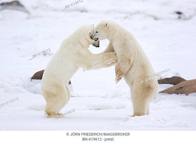 Two Polar Bears (Ursus maritimus) play-fighting, Churchill, Manitoba, Canada
